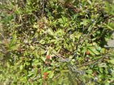 Wild Blackberries at Grayton Beach, Florida